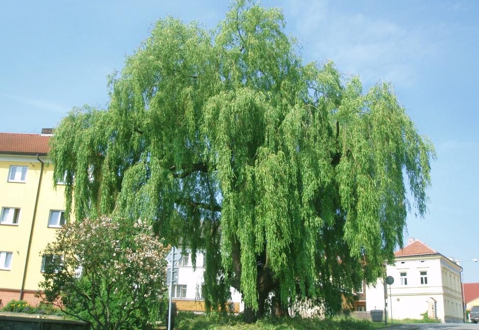 Redukční řez vrby za účelem stabilizace stromu, Pacov.