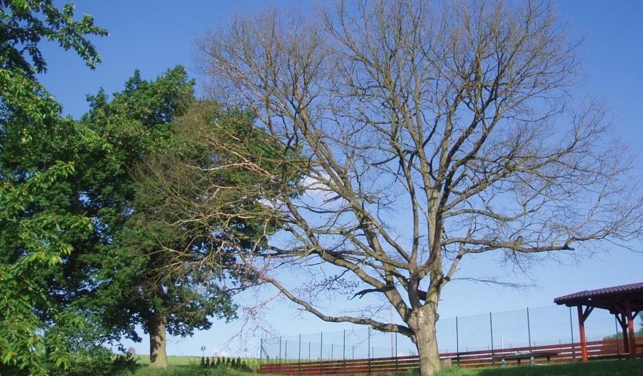 Staletý dub uhynul v důsledku změn stanovištních podmínek – výstavba víceúčelového hřiště v kořenové zóně.