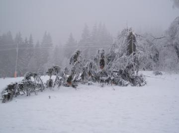 zlom kmene stromu, stromy rostoucí mimo les je nutné pravidelně kontrolovat