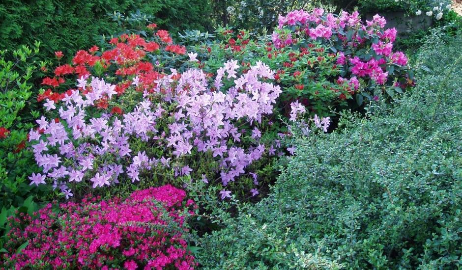 Zahrada s rododendrony doplněná řadou stálezelených rostlin v Letech.