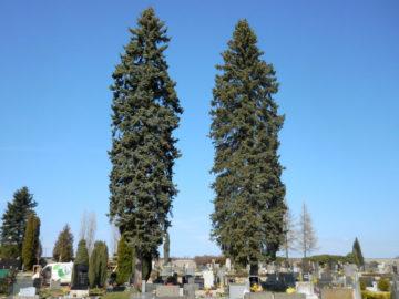 postupné kácení, hřbitov, pacov, frézování, pařez