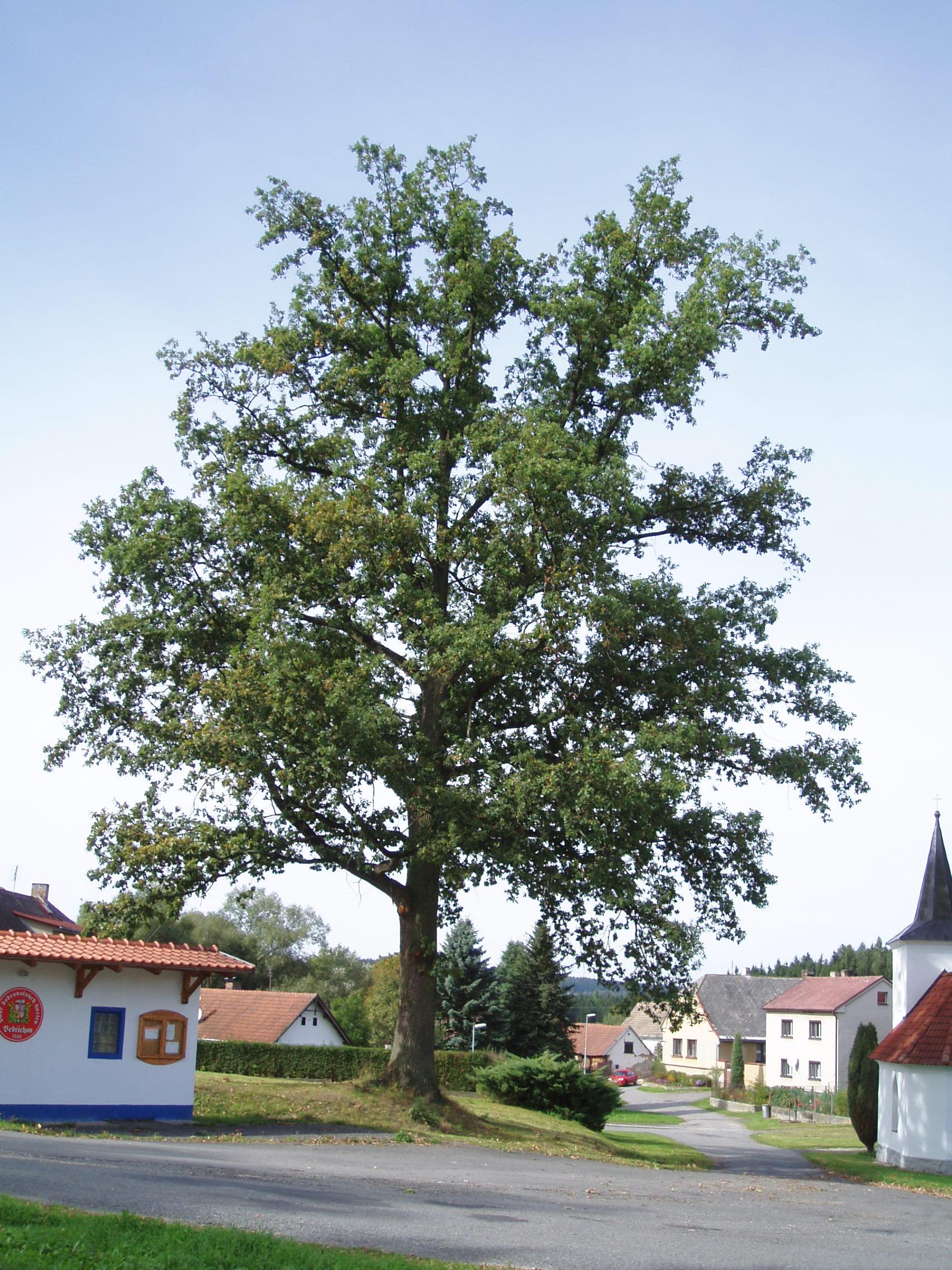 Stromy kácíme i uprostřed vesnice.
