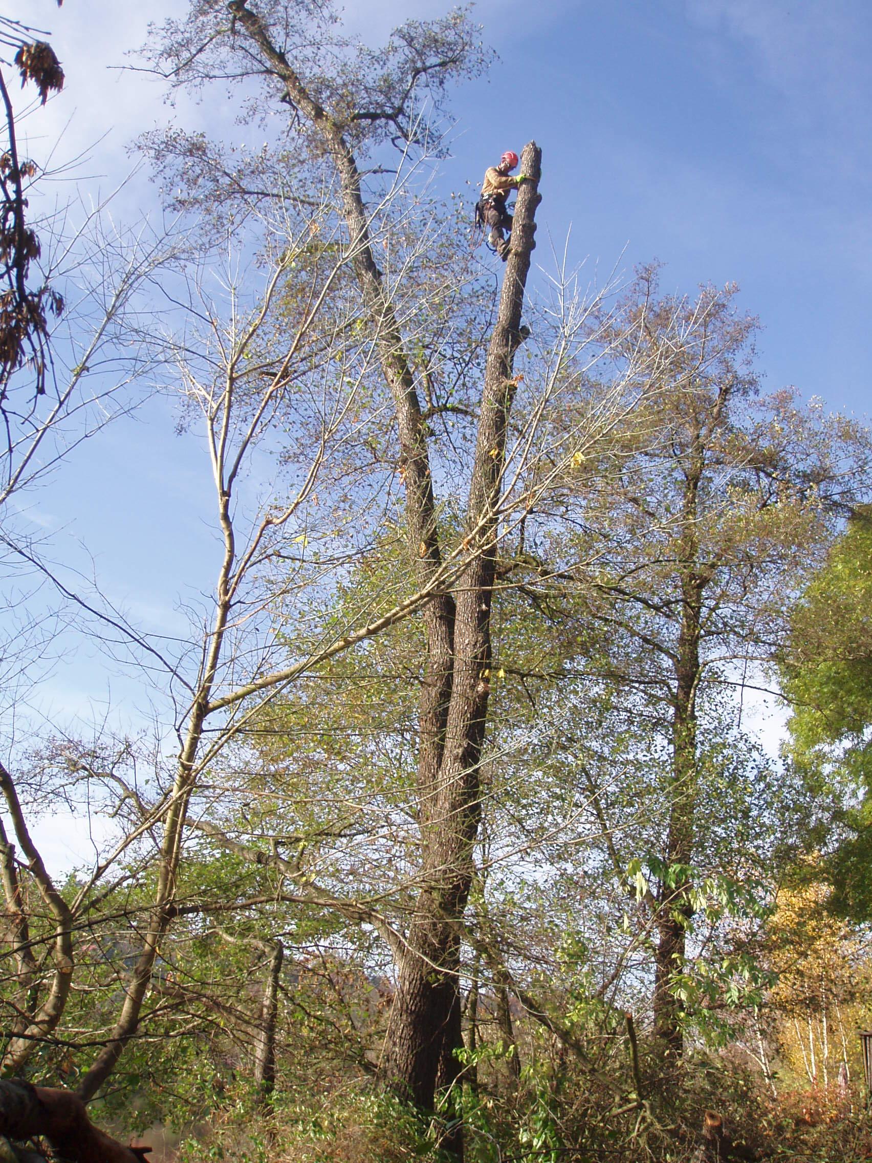 Provádění celého souboru řezů stromů včetně vázání korun.